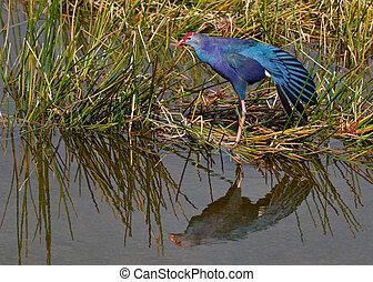 Purple Swamphen - Florida - The non-native Purple Swamphen...