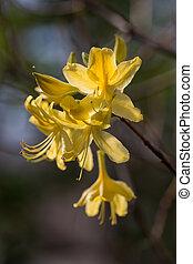 yellow azalea blossoms