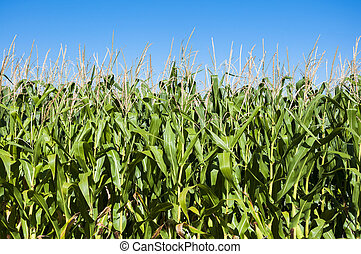 Cornfields in the plain of the River Esla, in Leon Province,...
