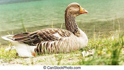 Grey wild goose