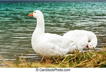 Two white wild goose