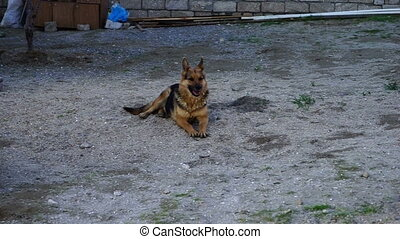 beautiful German shepherd dog played in the yard on a Sunny...