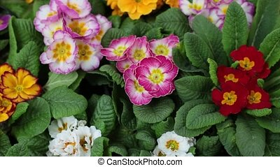 houseplants with pretty pink, red, white, yellow flowers -...