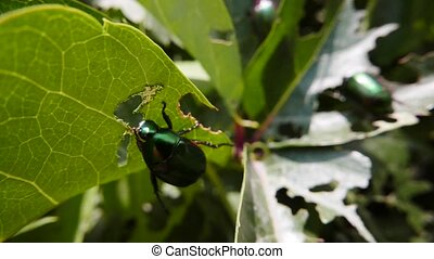 Invasion of green beetles Leaves damaged by wreckers Insects...