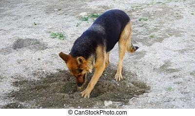 beautiful German shepherd dog played in the yard