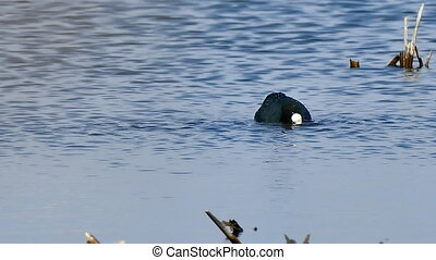 black bird wild duck floats on the water in the lake natural...