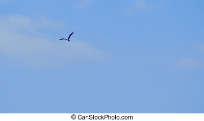 Flying grey heron Ardea cinerea bird flying in the sky -...