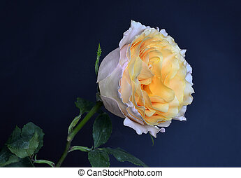 Delicious peach rose with green leaves on a blue background