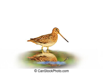 Snipe with reflection isolated on a white background blurred...
