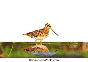 Snipe with reflection isolated on a white background