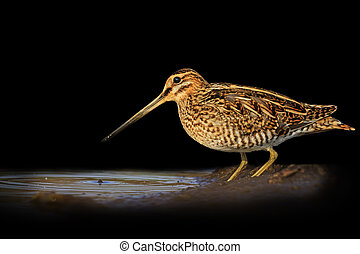 Snipe isolated on a black background blurred,Snipe isolated,...