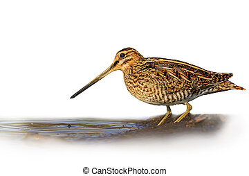 Snipe isolated on a white background blurred,Snipe isolated,...
