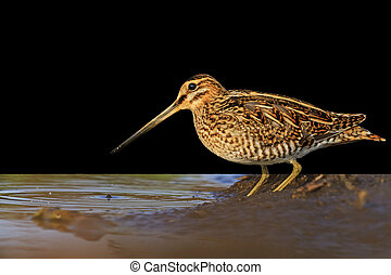 Snipe isolated on black,Snipe isolated, hunting trophy,...