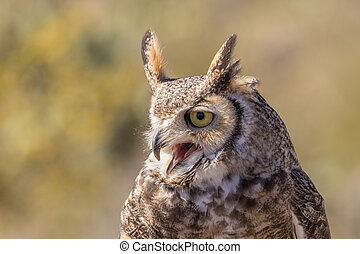 Great Horned Owl - a beautiful great horned owl