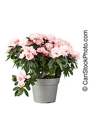 Cor-de-rosa, azaléia, em, Um, flowerpot, isolado, ligado,...