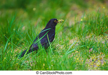 Turdus merula bird - Black thrush - Turdus merula male bird,...