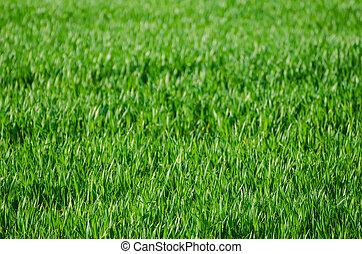 Green grass field background - Green grass fields suitable...
