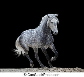 isolate of a gray horse run on the black background -...
