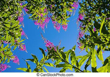 Purple Alpine Fireweed against blue sky
