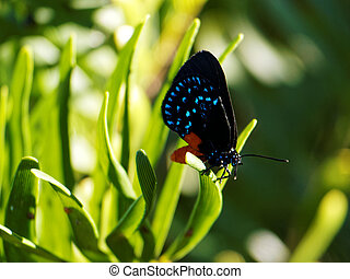 Colorful Atala Butterfly on Plant