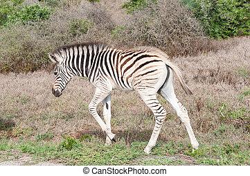 Burchells zebra foal - A Burchells zebra foal, Equus quagga...
