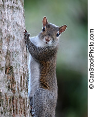 I See You Eye Contact with Squirrel - Eastern Gray Squirrel...
