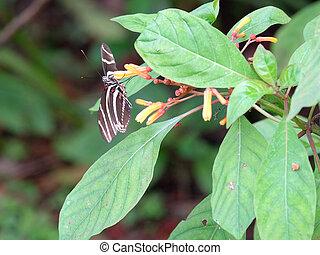 Zebra Longwing Butterfy on Firebush Plant - Zebra Longwing...