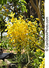 Scrambled egg tree Cassia suratten - Blooming colourfully...