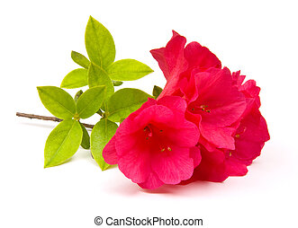 Azaleas Isolated - Pink Azalea blossoms isolated on white...