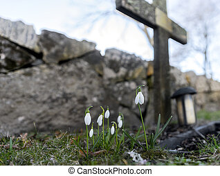 Snow drops in cemetery