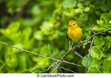 Yellow warbler perched on branch in woods