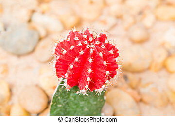 Red head cactus