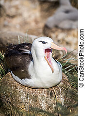 Black-browed albatross yawning on nest in sunshine