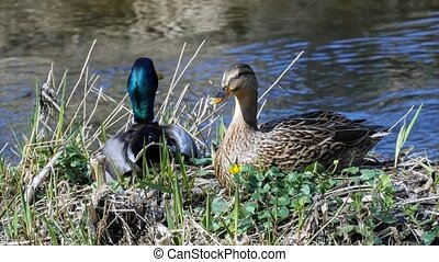 mallard duck -  A male and a female mallard duck
