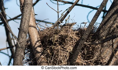 Fieldfare spring builds a nest for breeding