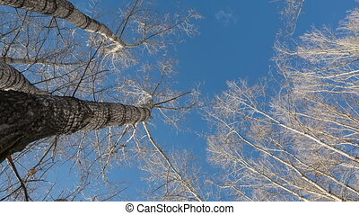 Spring sky - The tops of the trees against the blue spring...