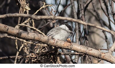 Willow Tit (Parus montanus) jumps on branches of trees
