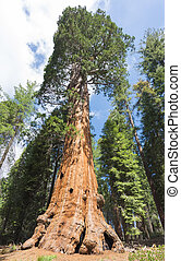 Giant Sequoia trees sequoiadendron giganteum in Sequoia...