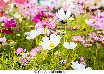 Beautiful cosmos flowers - Closeup on cosmos...