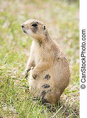 Prairie dog - Utah prairie female dog Cynomys parvidens...