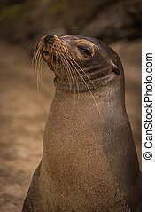 Galapagos sea lion looking straight at camera