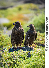 Pair of Galapagos hawks with heads turned