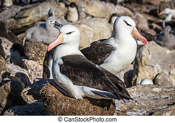 Pair of black-browed albatross nesting in colony