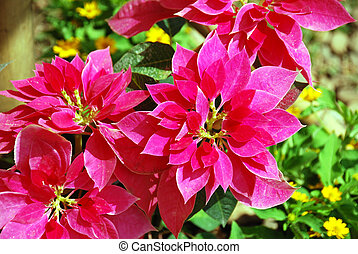 Red christmas flower or poinsettia - Beautiful red christmas...