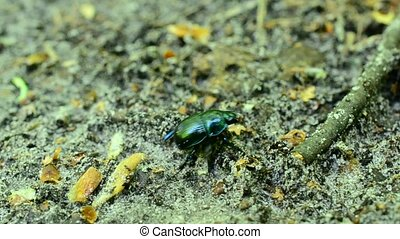 Greenish dor beetle crawls on soil in forest out of frame -...