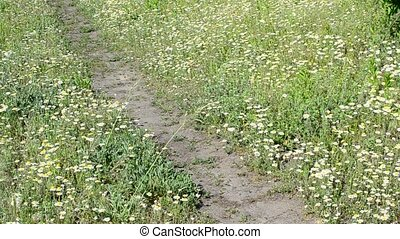 Feet of young man walking on footpath in meadow with daisies