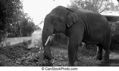 Eating Elephant in Monochrome - Monochrome shot of a big...