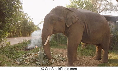 Big Elephant Eating Grass - Big Elephant is standing by the...