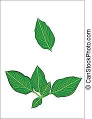 basil - fresh basil leaves isolated on white background