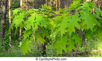 Branch of northern red oak tree with lush, vibrant green...
